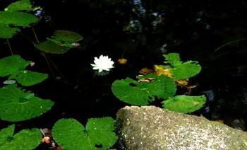 090921-33水生植物園睡蓮.JPG