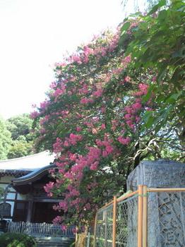 20100829お寺のサルスベリ-1.jpg