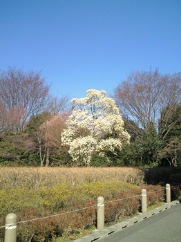 201103280武蔵国分寺公園のこぶしの花.jpg