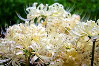 090921-31水生植物園白い彼岸花.JPG