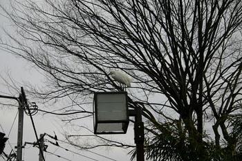 20090128こさぎ-7.JPG