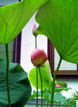 20090719万葉植物園の蓮.jpg
