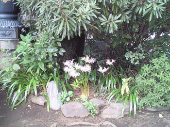 20100926白い彼岸花-1.jpg